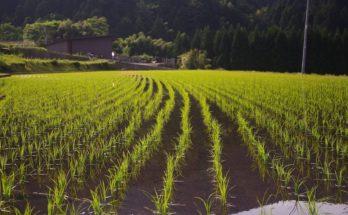 blockchain sledování rýže